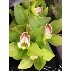 Mini Cymbidium Orchids Lime Green