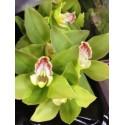 Cymbidium Orchids Green / White MIX