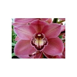 Cymbidium Orchids Red