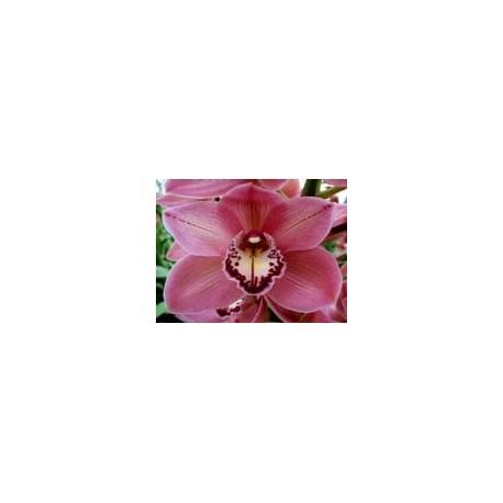 Cymbidium Orchids Red