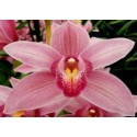 Cymbidium Orchids Dark Red