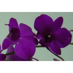 Dendrobium Orchids Dark Purple 70 Stems
