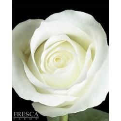 Mt. Everest White Roses 100 Stems