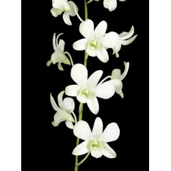 Dendrobium Orchids White 70 Stems