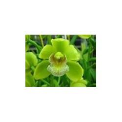 Mini Cymbidium Orchids Assorted