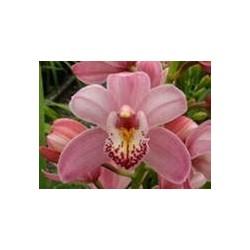 Mini Cymbidium Orchids Pink