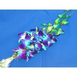 Dendrobium Orchids Blue 70 Stems