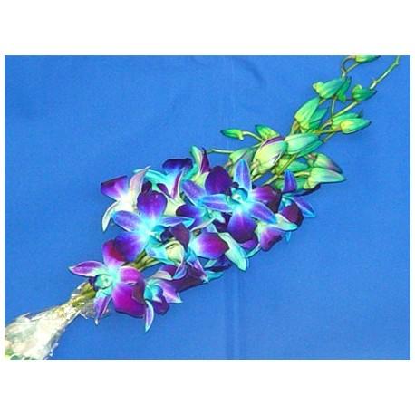 Dendrobium Orchids Blue 70 Stems