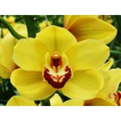 Cymbidium Orchids Gold