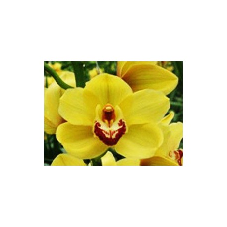 Cymbidium Orchids Gold