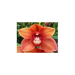 Cymbidium Orchids Orange