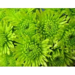 Green Athos Poms 16 bunches