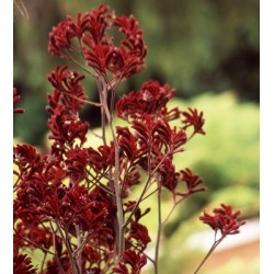 Kangaroo Paws Red 60 Stems