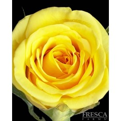 Aalsmeer Gold Roses 100 Stems