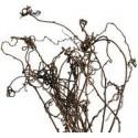 Kiwi Vine 7 Bunches