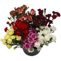 Mini Carnations FALL PACK 15 Bunches