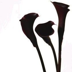 Mini Calla Lily Hot Chocolate 60 Stems