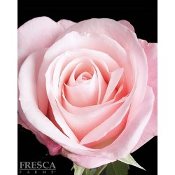 Titanic Pink Roses 100 Stems