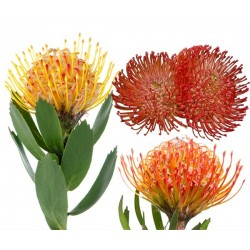 Pin Cushion Protea Assorted 40 stems