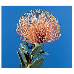 Pin Cushion Protea Orange 40 stems