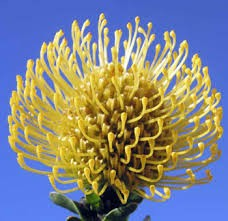 Pin Cushion Protea Yellow 40 Stems Florasourcedirect Com Buy The Box