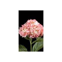 Hydrangea Natural Pink 20 Stems