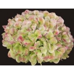 Hydrangea Antique Pink 20 Stems