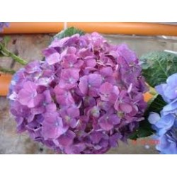 Hydrangea Purple Raspberry 25 Stems
