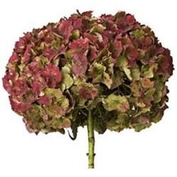 Hydrangea Antique Red/Green 15 Stems