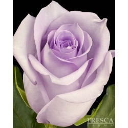 Blue Curiosa Roses 100 Stems