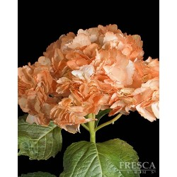 Hydrangea TINTED Orange 25 Stems
