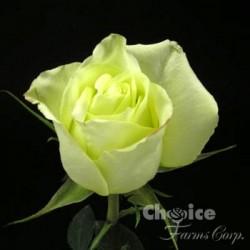 Jade Roses 100 Stems