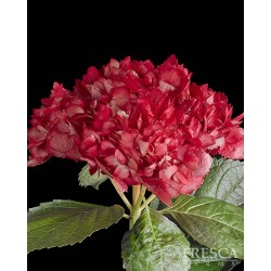 Hydrangea TINTED Red 25 Stems