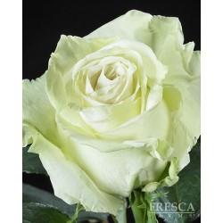 Mondial White Roses 100 Stems