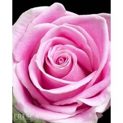 Rosita Vendella Pink Roses 100 Stems