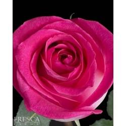 Verdi Pink Roses 100 Stems
