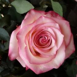 Paloma Pink Roses 100 Stems