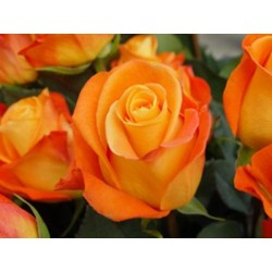 Voodoo Orange Roses 100 Stems