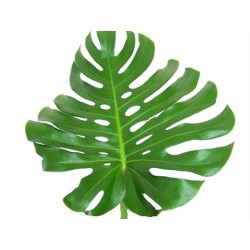 Monstera Leaves Large 50 Stems