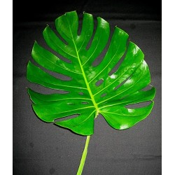Monstera Leaves Small 50 Stems