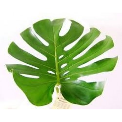 Monstera Leaves Medium 50 Stems