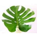 Monstera Leaves Medium 50 Stems