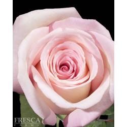 Anna Roses 100 Stems
