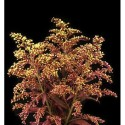 Solidago TINTED 12 Bunches