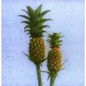 Mini Pineapples 40 stems