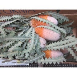 Banksia Orange Natural 20 Stems