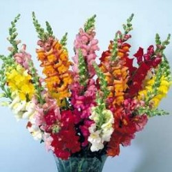 Snapdragons 10 Bunches