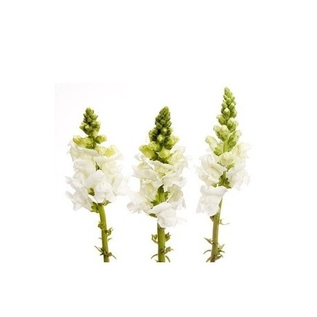 Snapdragons White 10 Bunches