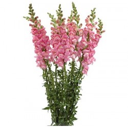 Snapdragons Light Pink 10 Bunches