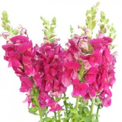 Snapdragons Hot Pink 10 Bunches